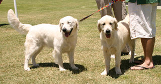 Golden-Retriever-pups-2