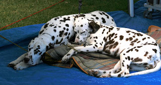 Sleeping-Dalmations