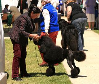 Black-Poodle-2