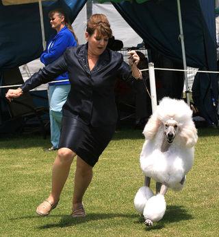 White-poodle