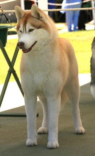 Husky-4