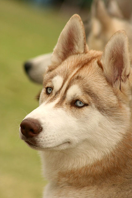 Husky-2