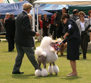 Poodle-winner