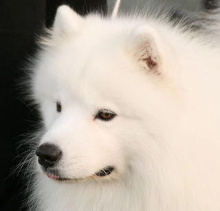 Julie's-Samoyed